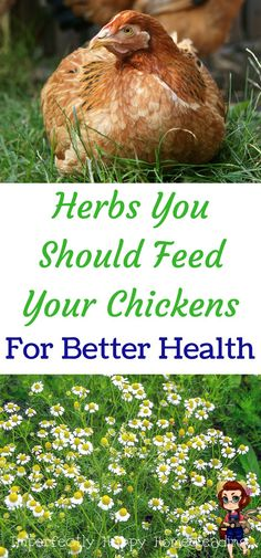 Garden Chickens Will Love - Top 16 Herbs Herbs you should feed your chickens for better health. Your homestead or backyard chickens will love them!Herbs you should feed your chickens for better health. Your homestead or backyard chickens will love them! Portable Chicken Coop, Best Chicken Coop, Backyard Chicken Coops, Chicken Coop Plans, Building A Chicken Coop, Chicken Runs, City Chicken, Chicken Tractors, Chicken Lady