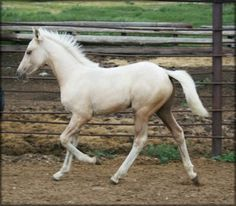 SOLD - SCW DELIGHTS PRAIRIE MOON #pend - (DELIGHT'S MIDNIGHT LEGEND x ARROW'S PRAIRIE MOON LIZ) Palomino Tennessee Walking Horse colt, with a high near hind stocking. He is a big, beautiful golden colt with really nice conformation and a smooth, deep walking gait. Foaled 04/28/2012. Priced at $1500 when weaned. VIDEO  Horse is located in Montana. Overseas transport can be arranged.