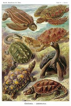 Chelonia, turtles. High quality vintage art reproduction by Buyenlarge. One of many rare and wonderful images brought forward in time. I hope they bring you pleasure each and every time you look at th