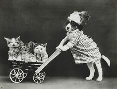 Original vintage old photos reproduced into contemporary prints. All photographs are chemically processed in photo labs and in great condition. Dog Pushing Cat Stroller Reprint Of Old Photo Dog P Small Kittens, Cats And Kittens, Cats Bus, Pushing Cat, Cute Cats, Funny Cats, Cat Stroller, Baby Animals, Cute Animals