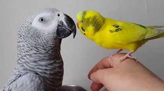 Jako  papağanı  ve muhabbet kuşu