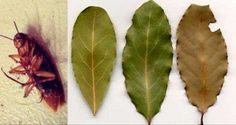 The most powerful cockroaches repellent – Bay leaves Bay Leaves, Plant Leaves, Cockroach Repellent, Home Remedies, Natural Remedies, Herbal Remedies, Laurus Nobilis, Salud Natural, Utila