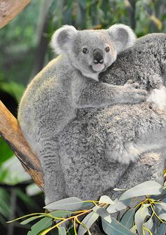 Nyoonbi the Koala Joey | Meet Nyoonbi, Colliet's joey. He wa… | Flickr