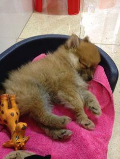 Cutest pomeranian puppy ever!