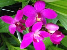 Spathoglottis unguiculata - Chinese Orchid Grapette