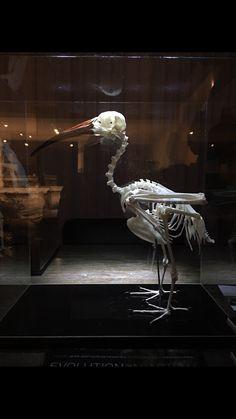 Hagedash Ibis skeleton