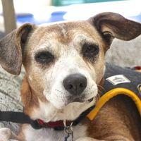 Cute Muttville mutt: Sweet Pea 1773 (Beagle mix   Female   Size: medium (20-50 lbs))