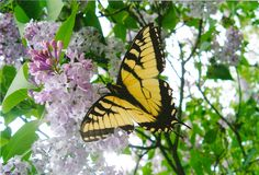 Swallowtail butterfly on lilac tree flower