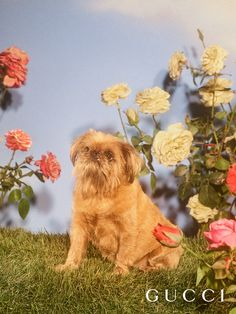 Louis Lane, a Brussel Griffon, is a rescue dog who loves to eat cheese, blueberries and Greek yogurt and likes to bark at horses. Gucci for the Year of the Dog, Chinese New Year 2018.  Photo: Petra Collins Art director: Christopher Simmonds Creative director: Alessandro Michele