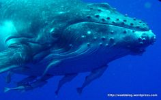 Humpback whale mother and calf   Wadda's Log Blog