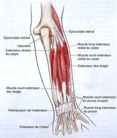 Cette vue arrière de l'avant-bras droit montre un faisceau de muscles extenseurs du poignet et de la main, les long et court extenseurs radiaux du carpe, ainsi que l'extenseur ulnaire du carpe. De même, l'extenseur des doigts va aux quatre doigts, l'extenseur de l'index, à l'index et l'extenseur du pouce, au pouce.