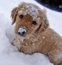 golden puppy playing in the fresh snow. first winter!