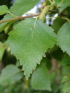 Betula pubescens - hieskoivu