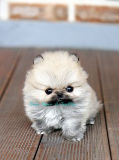 Ultimate Guide To Caring For My Pomeranian. taking care of, Pomeranian, ultimate guide. A spunky, energetic and vivacious breed, Pomeranian. White Pomeranian Puppies, Pomeranian Facts, Teacup Puppies, Cute Puppies, Cute Dogs, Dogs And Puppies, Chihuahua, Pomchi Puppies, Teacup Pomeranian