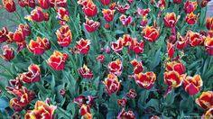 Tulipani al Parco Giardino Sigurtà, Valeggio sul Mincio, Italy