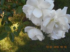 Rosa antigua en flores de mi jardín