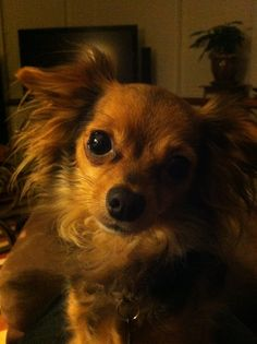 Love my Chorkie (Chihuahua + Yorkie) Senior Wiggles!