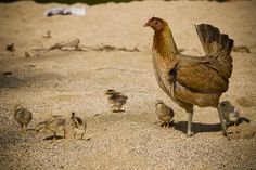 wild chickens are everywhere in Kauai thanks to Hurricane Iniki back in 1992  - see mamas and their chicks everywhere, on the beach, on the streets, at the markets...