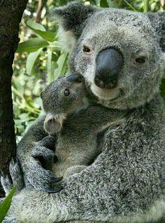 Koala holding its baby