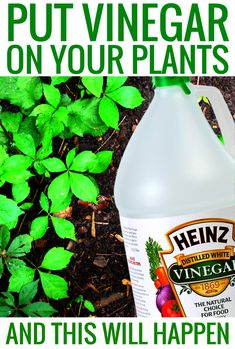 Put Vinegar on Your Plants and This Will Happen vinegar cleaning hacks gardening and garden ideas vinegar hacks cleanses tips and tricks life hacks vinegar uses life hacks every girl should know : uses for vinegar. Diy Hacks, Cleaning Hacks, Organic Gardening, Gardening Tips, Gardening Services, Vegetable Gardening, Vinegar Uses, Amazing Life Hacks, Tips And Tricks