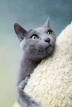 Russian Blue Cats Perplexed Blue Russian cat on cat tree. Photo by Nailia Schwarz. Russian Cat, Russian Blue Kitten, Blue Cats, Grey Cats, Cute Cats And Kittens, I Love Cats, Cat Brain, Cat Aesthetic, Super Cat