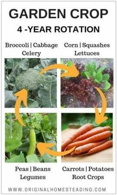 3-Year Crop Rotation Guide + a 4-Year Plan that helps build soil, fight disease and increase garden produce. This is an easy to follow simple way to rotate your garden beds. originalhomesteading.com #croprotationchart #howtorotatecrop #vegetabecroprotation