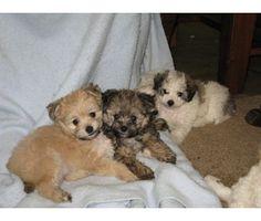 pom a chon puppies