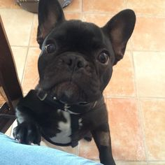 I was tagged by @carlota_gordolas to do the #givemethecookie and this is how I react when I see a cookie in my mother's hands ! Now I want to see @frenchmerci @tea_frenchie_ and @dikkie_the_frenchie doing this funny challenge ! #frenchie #thefrenchiepost #frenchiephotos #frenchieofinstagram #frenchieoftheday #frenchielove_feature #frenchies #frenchies1 #frenchbulldog by lexyyyfrenchbulldog