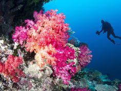 Coral reef and diver by joebelanger. Scuba diver swims by a beautiful tropical reef full of vibrant purple and orange soft corals. Underwater Images, Underwater Photography, Fly To Fiji, Scuba Diving Quotes, Diving School, Fiji Beach, Fiji Travel, Cave Diving, Soft Corals