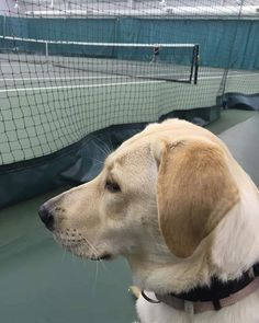 Our K9 Coaches help us expose our dogs to as many environments as possible. This includes school sports. Tennis has to be a hard one on a pup... especially a Lab. Trista is not even worried about watching the ball..she is focused on her person and cheering her on to victory. Good girl Trista! #semperk9sTrista #servicedog #intraining #rescuedog #ophrescue #sheltertoservice #rescuedtoserve #ServiceDogs4Vets #servicedogsofinstagram #veteranshelpingveterans #semperk9 School Sports, Service Dogs, Coaches, Rescue Dogs, Cool Girl, Lab, Tennis, Tennis Sneakers, Trainers