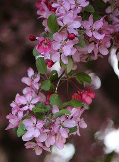 """Crabapple Blossoms (3)"" by Pistos - Caedes Desktop Wallpaper"