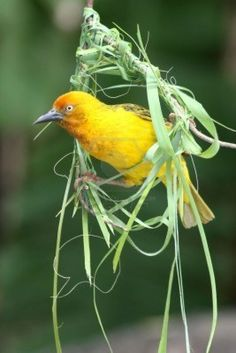 Cape weaver bird peering out of the beginnings of the nest. We have one that makes a nest in the garden at the Aviva house every year.