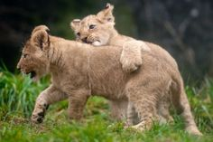 Piggyback! The cubs will make their debut Sat., Feb. 16 from 11 a.m. to 2 p.m. at the zoo! #cute Photo: Josh Trujillo/SeattlePI