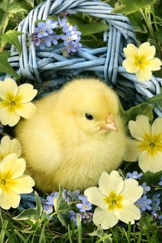 Easter Chick In Bask