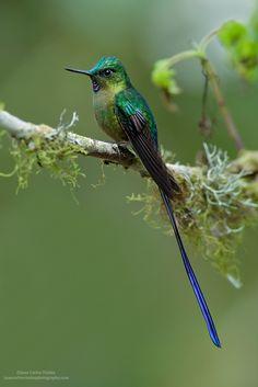 Violet-tailed Sylph, Ecuador by www.juancarlosvindasphoto.com