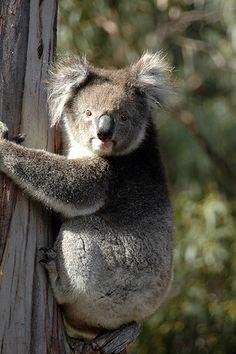 Top things to do in #Australia: Look for #koalas in their natural habitat. Learn more:  http://www.georama.com/#Explore/Australia/Adelaide/Plan/Activities/0/3998_KI/KangarooIslandinaDayTourfromAdelaide