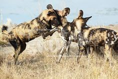 African wild dogs, Lycaon Pictus, running and playing in the african savannah. Movement on the edges, shallow Depth of Field Snatch Stock Images - Stock Photography African Wild Dog, Shallow Depth Of Field, Wild Dogs, Vector Graphics, Animal Photography, Savannah Chat, Camel, Moose Art, Pets