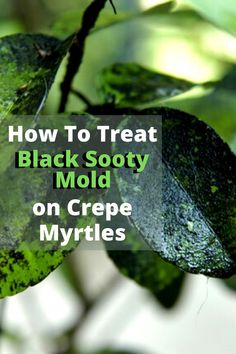 If you're having problems with black sooty mold on your crepe myrtles or plants, here are a few guidelines and proven tips to help you get rid of it. If you see sooty mold starting on your plants, it is best to treat it as soon as possible. The longer it stays, the more area it covers and the harder it is to get rid of. It can grow and cover your entire plant as well as reach other plants nearby.