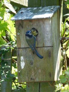 Anyone else waiting excitedly for nestbox families to fledge? We're waiting on two little blue tits to make their debut appearance in our garden #homesfornature