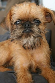 Brussels Griffons are the best doggies in the world! Look at this widdle monkey face!: