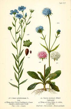 LEIN TEUFELSABBIß Botanik Farbdruck Antiker Druck Antique Botanical Print