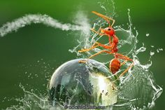 Kung fu Ant