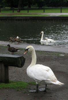 Newbury Swans and Ducks