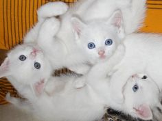Very interesting post: Angora Cat - 20 Pictures. Also dompiсt.сom lot of interesting things on Funny Cat. Turkish Angora Cat, Angora Cats, Funny Cats, Funny Animals, Cute Animals, Image Chat, Kitten Photos, In The Zoo, Photo Chat