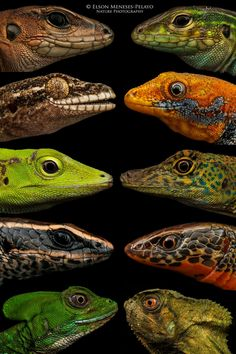 Lizards Lizards and more Lizards by Elson Meneses-Pelayo / Nature Puotographer