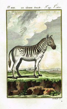 """Buffon's Histoire Naturelle - """"LE ZEBRE"""" - Copper Engraving - 1799"""