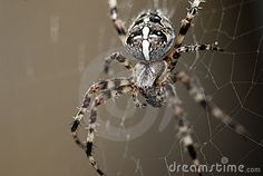 A cross spider waiting for lunch