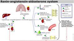 The renin-angiotensin-aldosterone system. Aliskiren is a direct renin inhibitor.