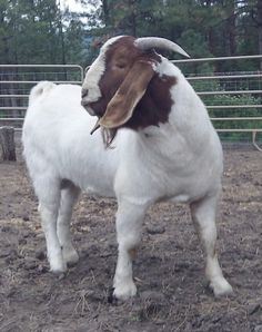 Montana Fair, Cabras Boer, Rock Ranch, Young Buck, Reloading Ammo, Boer Goats, Showing Livestock, Cartoons Love, Goat Farming