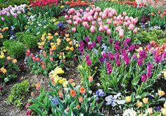 Tulips in Secret Garden, Thanksgiving Point, Utah